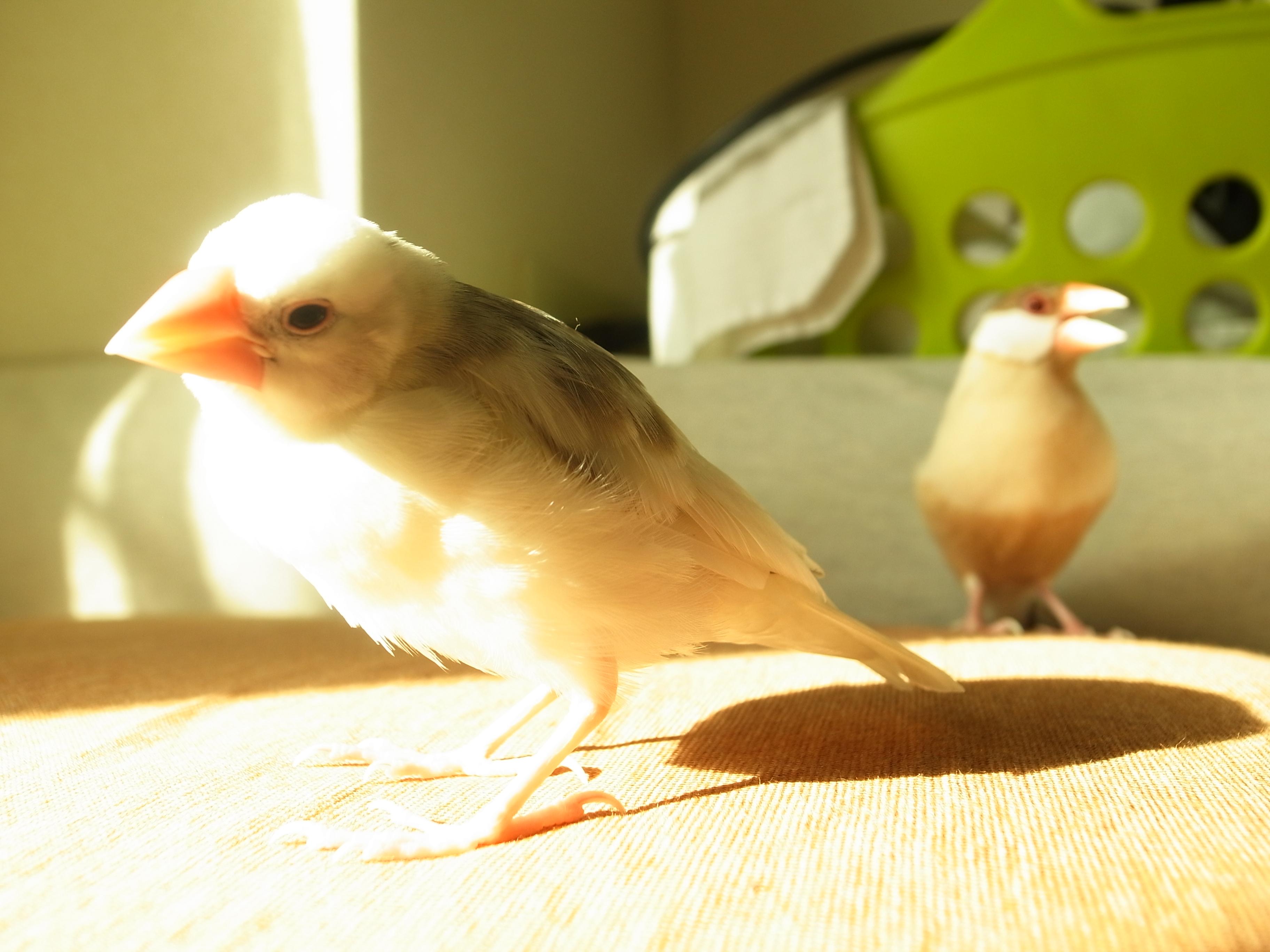 つんつんする文鳥